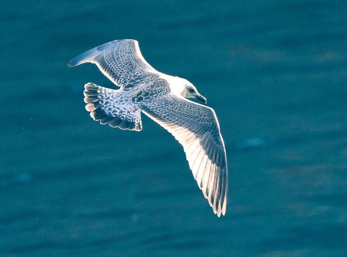 Seagull swimming over sea