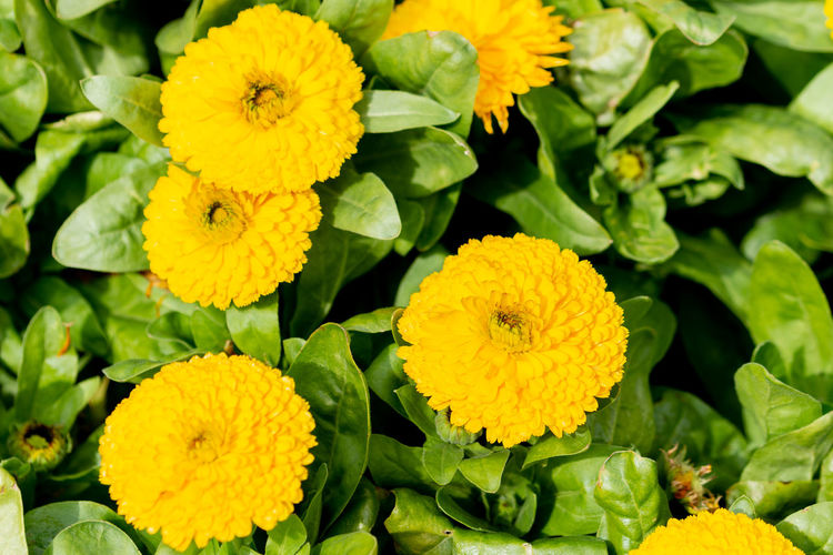 Dianthus flower macro Flower Flowering Plant Yellow Plant Vulnerability  Freshness Flower Head Inflorescence Fragility Close-up Beauty In Nature Petal Growth Green Color Leaf Nature Plant Part No People Day Outdoors Lantana Flower Arrangement
