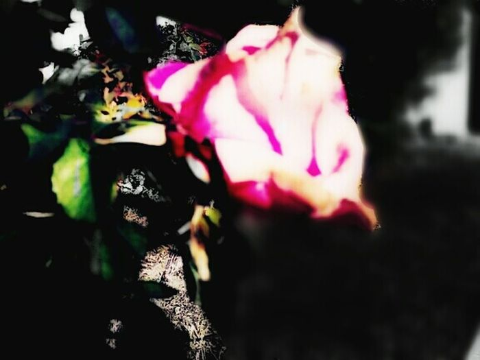Check This Out Enjoying Life Roses🌹 Flowers,Plants & Garden Rosé Flowerporn Foryouabigail Mylove Random Stuff Getting Creative With Zte Hi! Reallove