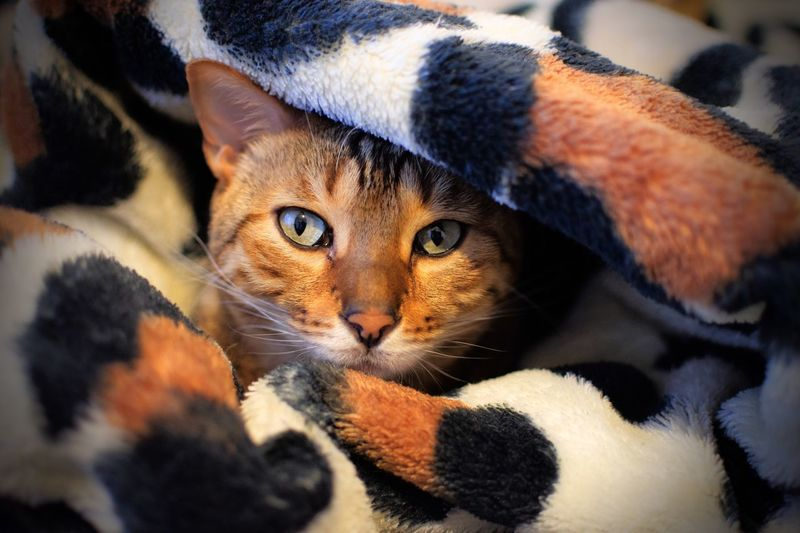 Domestic Cat Feline Mammal Pets Indoors  Animal Themes Domestic Animals One Animal Looking At Camera No People Close-up Portrait Day Camouflage Camouflage Animals