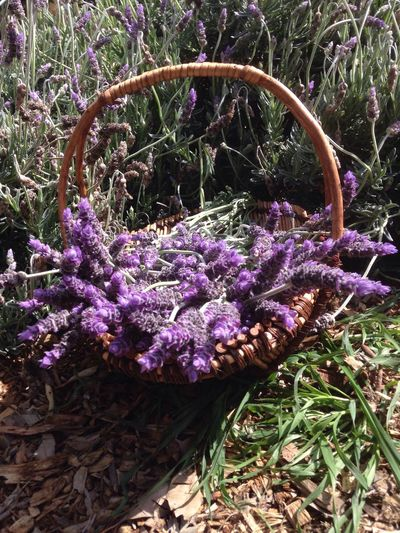 Freshly picked Lavender