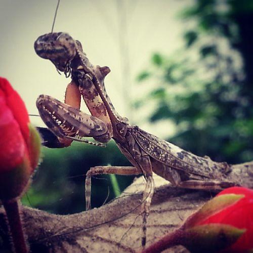Mantis Bugs Instabugs Insectgram Mantis prayingmantis insects garden