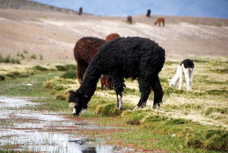 Animal Themes Animal Wildlife Nature Outdoors Grass No People Day Alpaca Altiplano Chile Cordillera De Los Andes