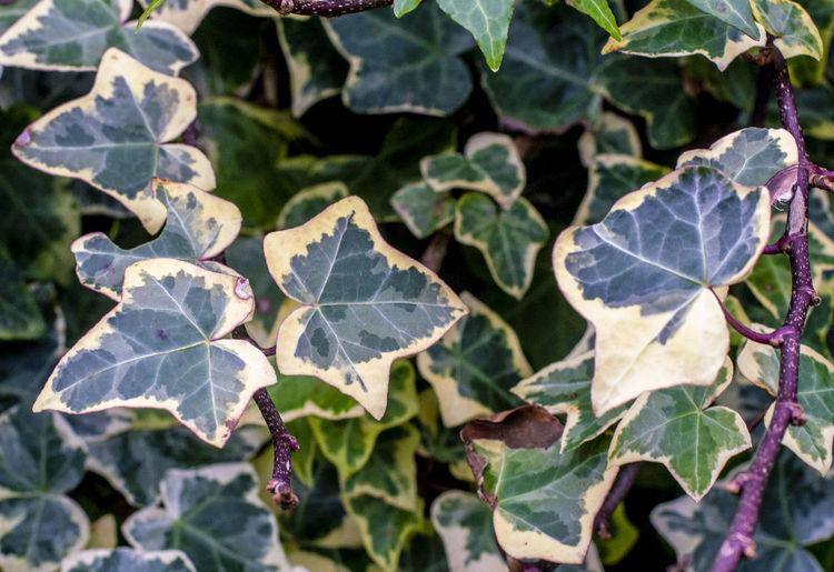 Greens Leaf