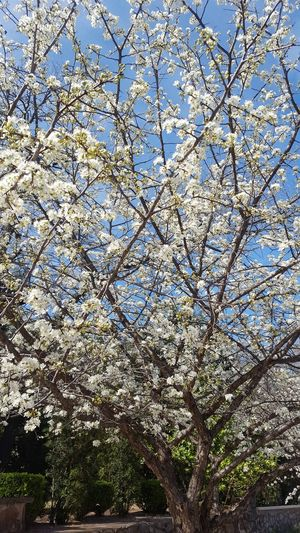 Tree Nature Blossom Spring Springtime Blooming