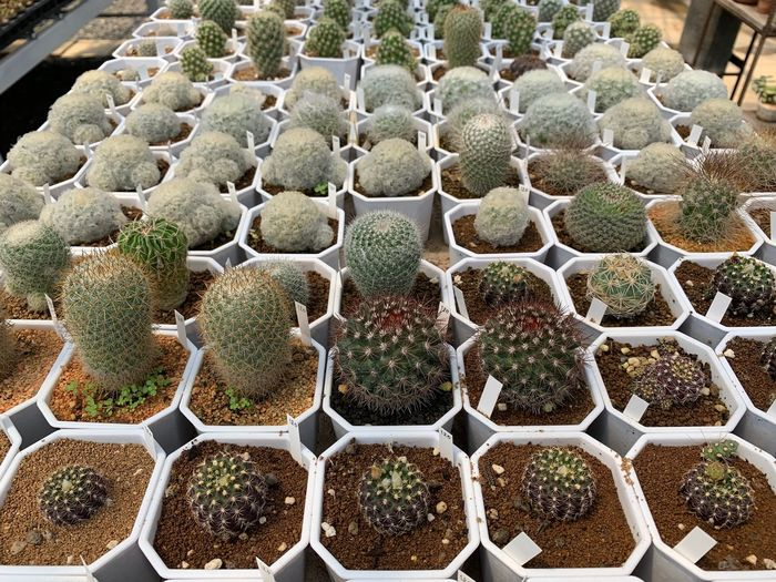 Succulent Plant No People Plant Growth Close-up Cactus Day Thorn Potted Plant Nature In A Row Beauty In Nature Pattern Green Color Spiked Natural Pattern Outdoors Repetition High Angle View Sharp Plant Nursery
