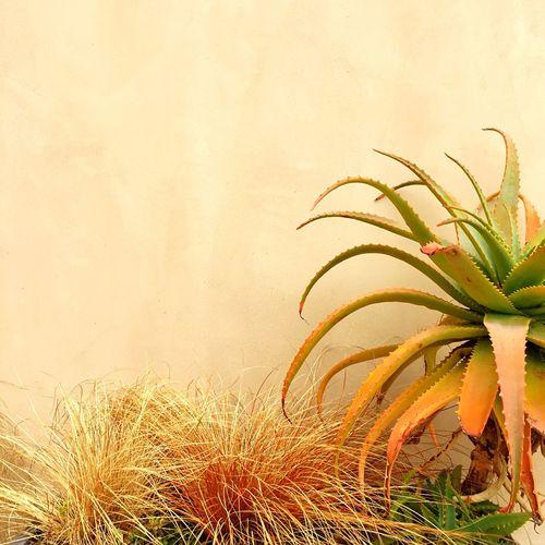 Aloe Carex Carex Testacea Grasses And Succulents Grasses Succulents Open Edit Fragility Outdoors