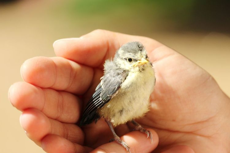 We saved this little creature 2 EyEmNewHere EyeEm Animal Lover Human Hand Bird Young Animal Holding Hedgehog Young Bird Close-up