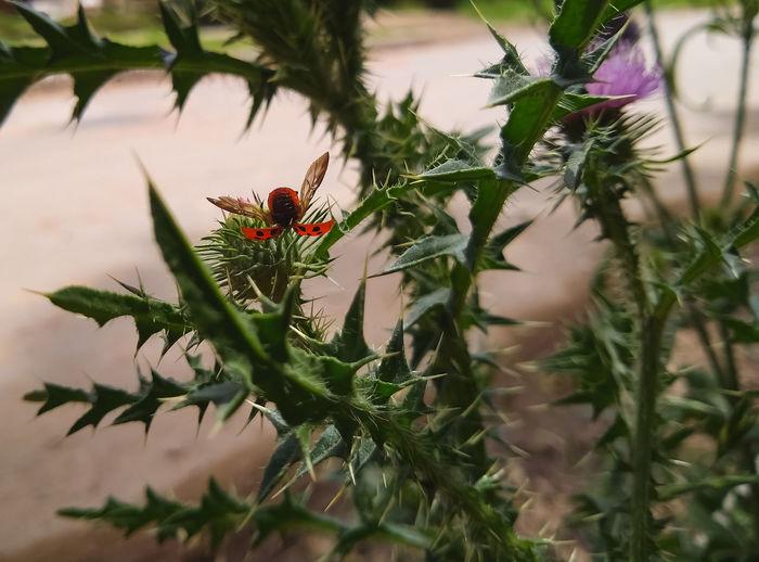 vaquita de San antonio Insecto Vaquita De San Antonio Vaquitadesanantonio Red Tree Flower Branch Pinaceae Close-up Plant