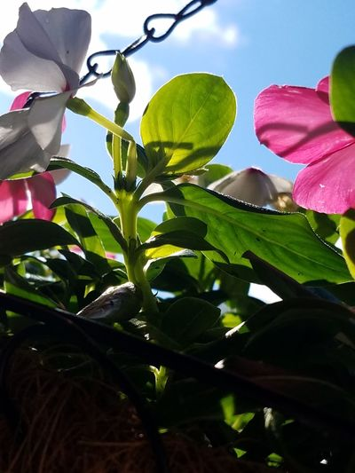 Flower Plant Nature Freshness No People Sky Close-up Low Angle View Pink Color Outdoors Beauty In Nature Growth Day Flower Basket The Purist (no Edit, No Filter) EyeEm Nature Lover EyeEm Flower Blue Sky