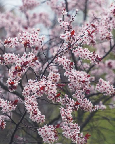 Flowering Plant Flower Pink Color Plant Freshness Fragility Beauty In Nature Growth Vulnerability  Tree Blossom Springtime Nature Branch No People Day Close-up Inflorescence Petal