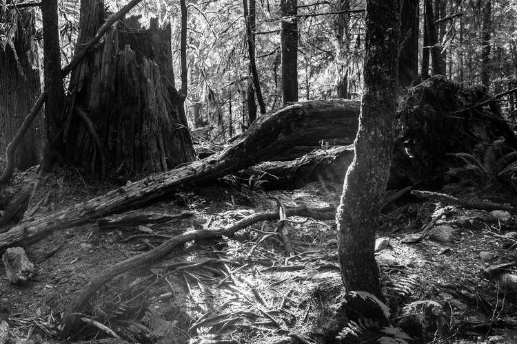 Mt. Fromme Mt. Fromme, BC Tree Forest Nature Tree Trunk Sunlight No People Day Outdoors Beauty In Nature Close-up Available Light Landscape Black And White Collection  Vancouver, Bc Eyemphotography Lowkeyphotography Cloud - Sky Mountain Tranquility Pentax Scenics Beauty In Nature Plant Freshness