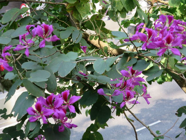 Bauhinia Bauhinia Blossom Beauty In Nature Day Flower Flower Head Nature No People Outdoors