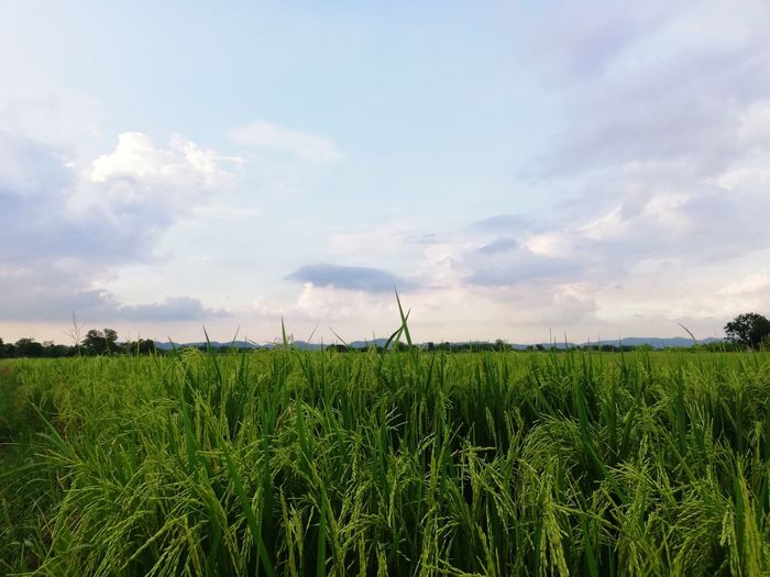 Rice field at