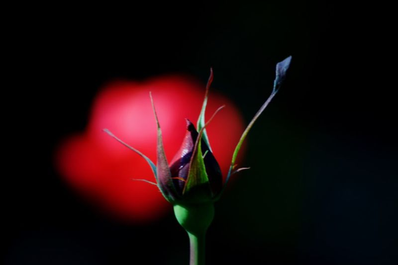Close-up of flower bud against black background