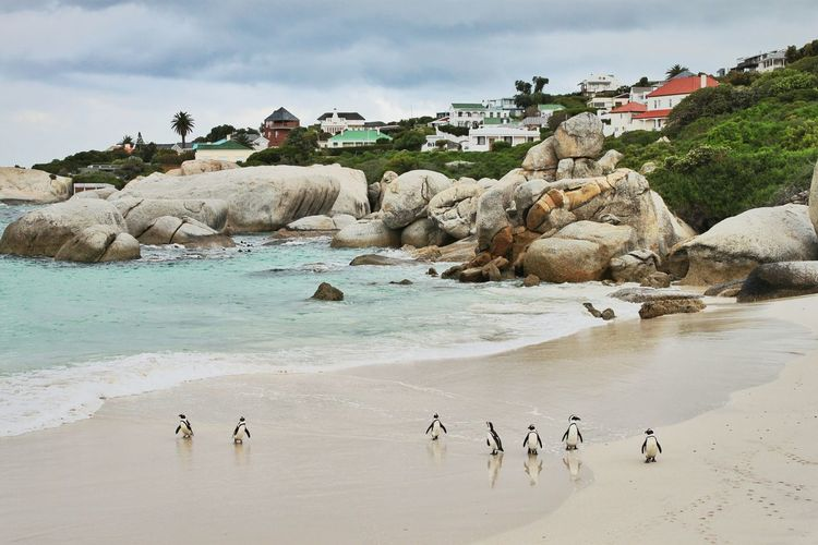 Penguins in a row on a beach near houses Nature Wildlife & Nature Wildlife Photography In A Row Human Animal Interaction Penguins Beach African Penguins Cape Town Boulders Beach Beach Outdoors Large Group Of Animals Bird Water Landscape No People Animal Wildlife Animals In The Wild Nature Swimming Colony Animal Themes