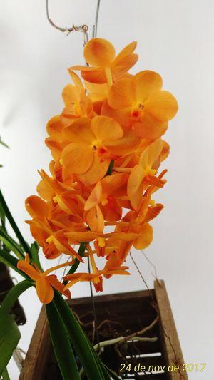 Orquideas❤ Vanda Flower Fragility Petal No People Studio Shot Indoors  Close-up Nature Freshness Day Flower Head