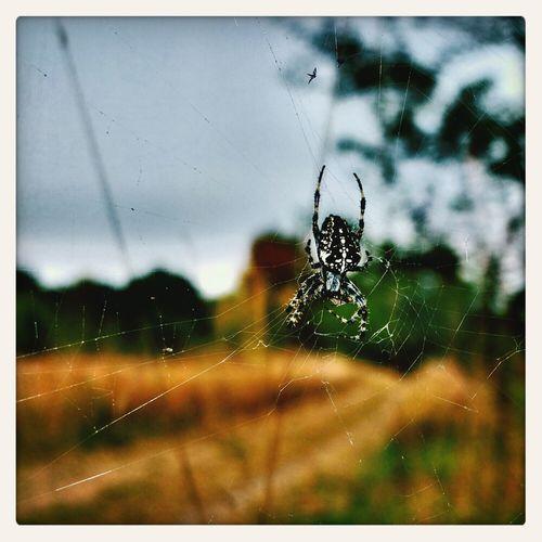 big spider Spider