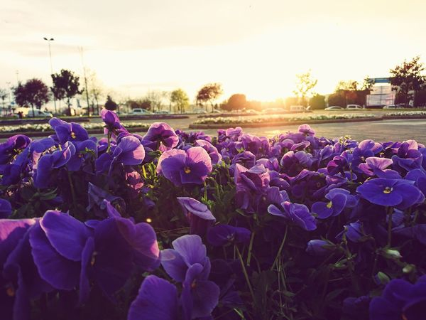 Crocus Flower Head Flowerbed Springtime Purple Agriculture Close-up Botany Lavender First Eyeem Photo