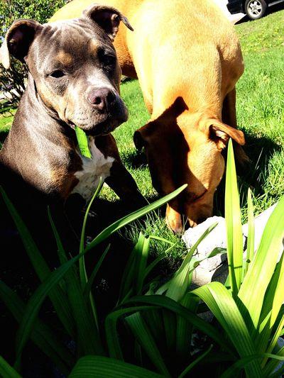 T. & K. Pitbull Grass Sunny Day