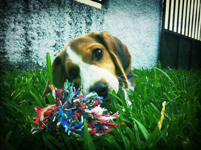 Beagle les presento a mi nueva adoracion, mi princesa Donna