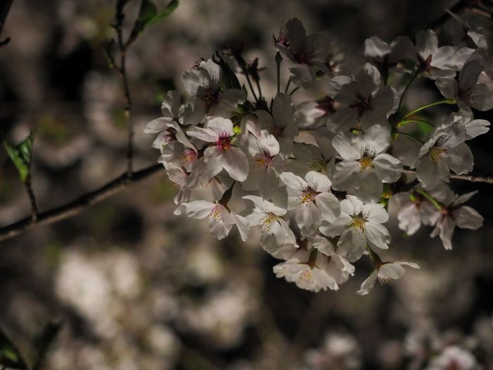 Close-up of white cherry blossom tree