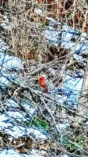 Finally! a Cardinal!!! ~ This isn't my best shot, but it means something to me so i wanted to share it! Cardinals are my favorite birds. ive been chasing this little bugger around the property for months trying to get a shot . he just keeps going deeper into the brambles. i finally got it...yaaaay! Happy Moment My Point Of View Enjoying Life Winter My Neighborhood Colors Of Life Loving The Landscape Winter Beauty  Nature Lover Snow Memories Birdwatching In Portland Maine USA Freedom Cardinal - Bird Loving Life! Day No People Red High Angle View Outdoors Full Frame Nature Close-up Backgrounds Animal Themes
