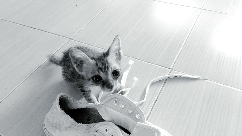 Activity Of Kitten EyeEm Selects Kitten Cat Animal Wildlife Pity Play Activity Lovely Cute Baby Eyes Shoes Sport Outdoors Sneakers Black And White Shoelace Shoemaker Holiday Weekend Sad Cry Alone