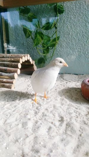 Haustier Haustiere Vogel Bird Birds Bird Photography Wachtel