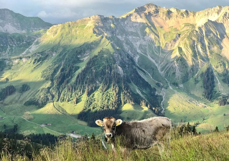 View of a sheep on mountain