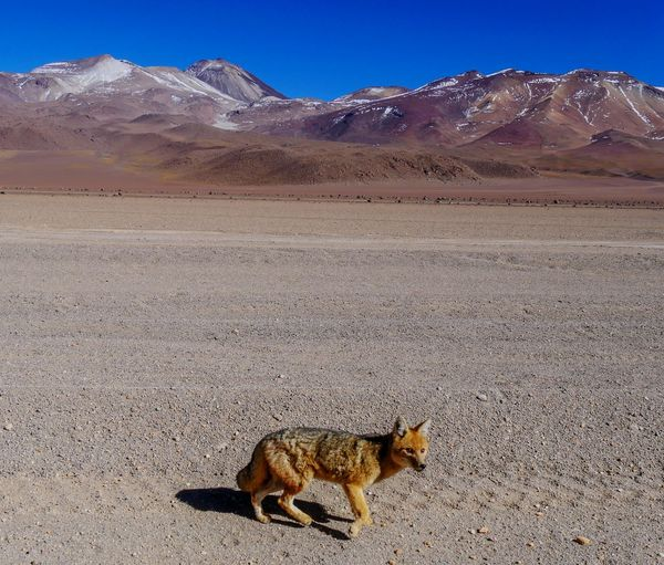 Traveling Nature Landscape Into The Wild Check This Out Fox On The Road EyeEm Nature Lover Roadtrip Naturelovers Eyeem Bolivia Landscapes Beauty In Nature Eye4photography  Bolivia Travel Landscape_Collection Nature_collection Travel Photography 43 Golden Moments EyeEm Gallery Mountains Travelling Taking Photos Animals In The Wild