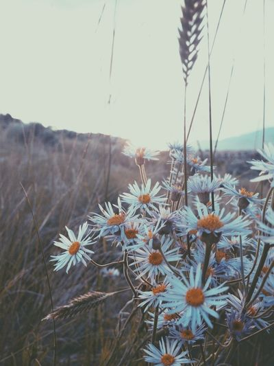 Daisies Catching Light Vscocam