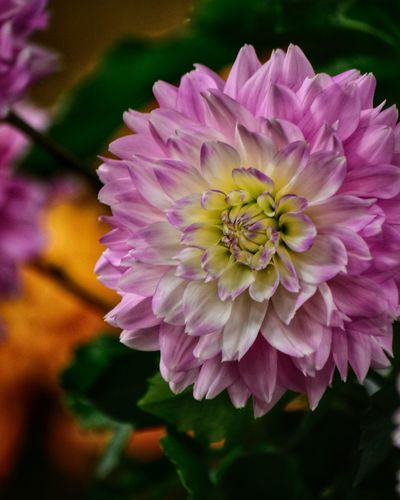 Flowering Plant Flower Petal Fragility Vulnerability  Plant Inflorescence Nature Focus On Foreground Pollen Day No People Purple Botany Pink Color Growth Beauty In Nature Close-up Flower Head Freshness