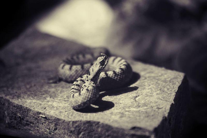#Snake #viper #wild #wildlifephotography #fauna #Georgia #Black&White #blackandwhite #Nature  Animal Wildlife Reptile Animal One Animal Animal Themes