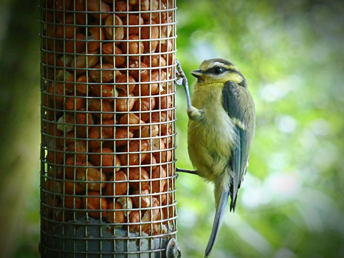 Bird Peanuts Bird Feeder Bluetit Feeding
