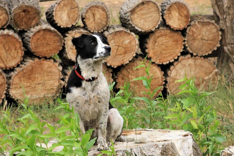 Animal Themes Animal Timber Mammal Log Wood - Material One Animal Wood Tree Nature Stack Domestic Animals Forest Plant Pets Domestic Vertebrate No People Deforestation Firewood Outdoors Dog