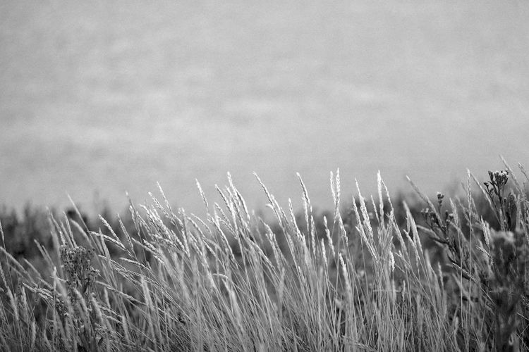 Rustling In The Wind Growth Plant Field Nature Tranquility Beauty In Nature Land No People Day Agriculture Crop  Environment Landscape Rural Scene Grass Outdoors Close-up Tranquil Scene Focus On Foreground Stalk Blackandwhite Black And White