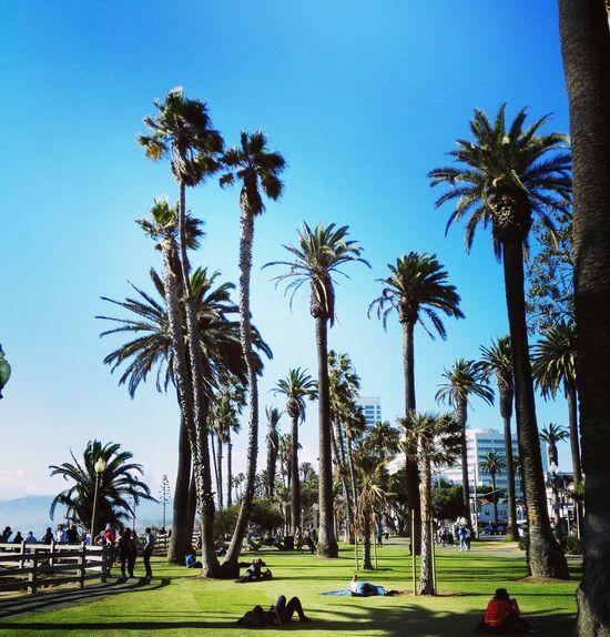 Palm Tree Tree Blue Outdoors Clear Sky Nature Sky No People CA Cali California Santa Monica