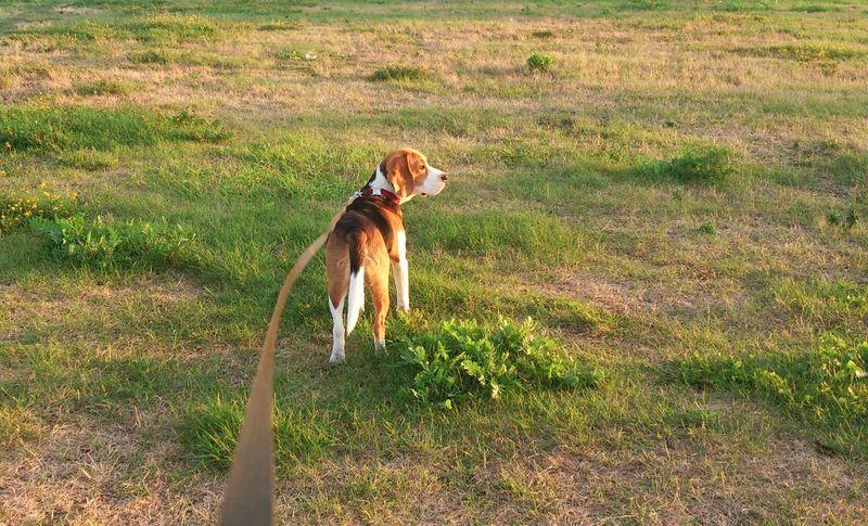 Dog Walking Beagle