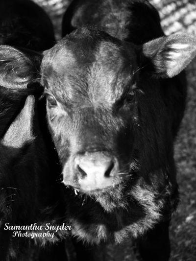 Fall calf Calf Heifer Fallcow Ranch Animal Animal Themes Livestock Cow Cattle