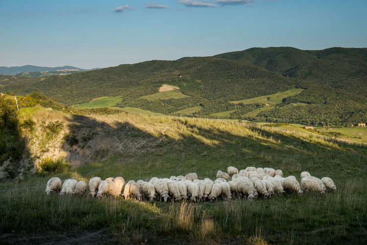 VOLTERRA, TUSCANY - MAY 21, 2017 - Flocks of sheep on the hills leading from Volterra to the medieval village of Mazzolla Agriculture Animal Themes Bale  Beauty In Nature Day Domestic Animals Field Flock Of Sheep Grass Grazing Growth Landscape Large Group Of Animals Livestock Mammal Mountain Nature No People Outdoors Rural Scene Scenics Sheep Sky Tranquil Scene Tranquility