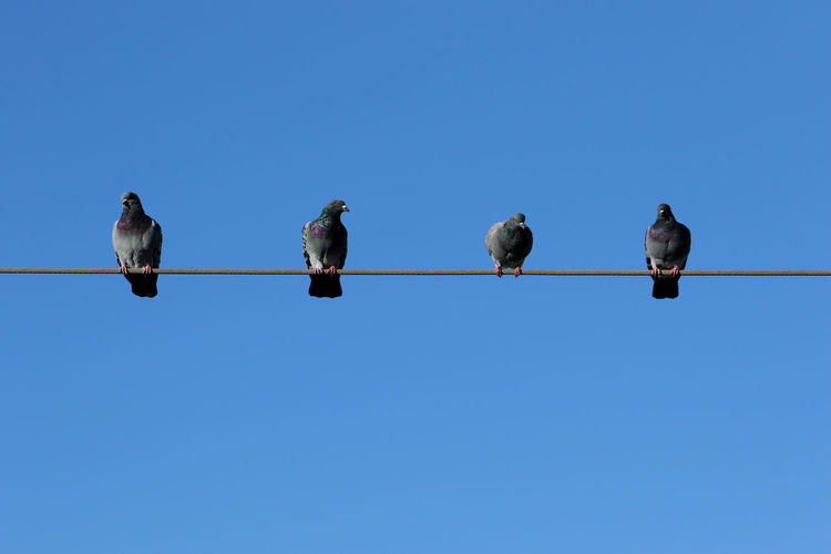 Low angle view of birds perching on cable against clear blue sky. pigeons.
