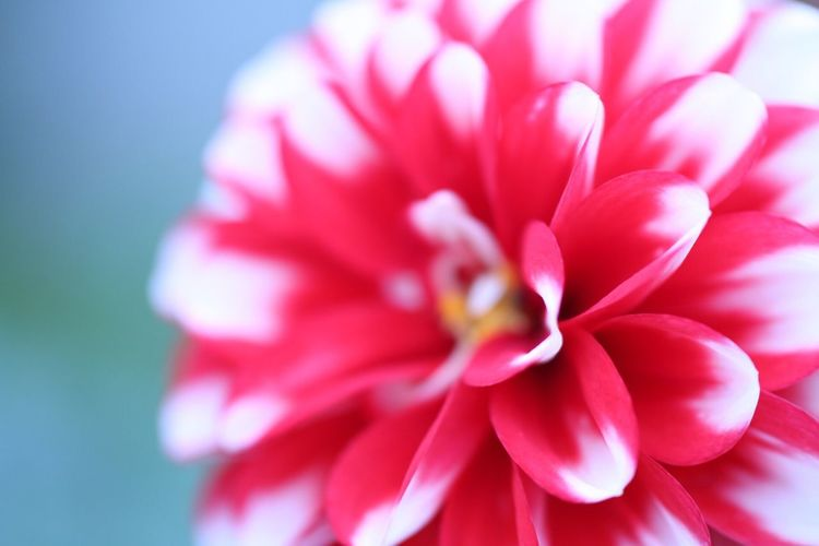 Dahlia. Canon70d Dahlia Macro Flowers Japan Fukui