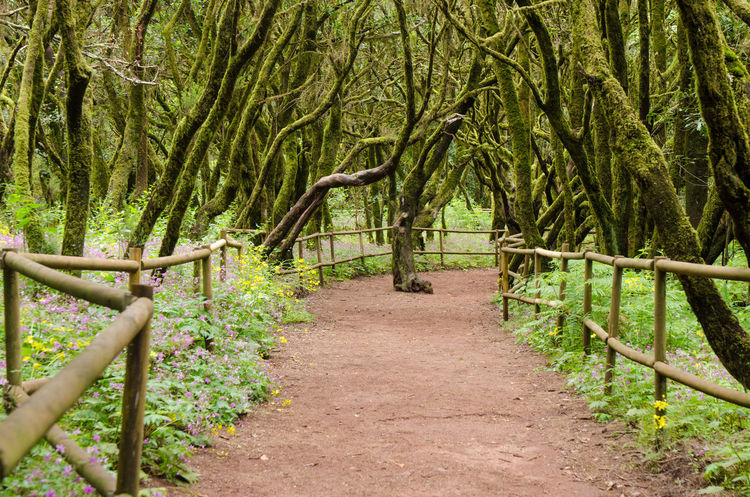 Beautiful evergreen forest in Garajonay national park on La Gomera island, Canary islands, Spain Canary Islands Garajonay National Park Laurisilva Laurisilva Forest SPAIN Tree Foothpath Forest Garajonay Gomera La Gomera Spring Springtime
