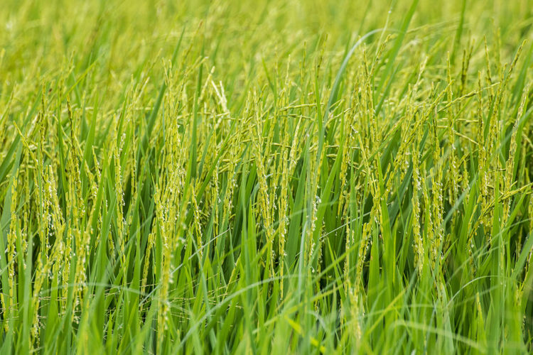Agriculture Backgrounds Barley Beauty In Nature Blade Of Grass Cereal Plant Crop  Farm Field Freshness Full Frame Grass Green Color Growth Land Landscape Nature No People Outdoors Plant Rice - Cereal Plant Rural Scene Selective Focus