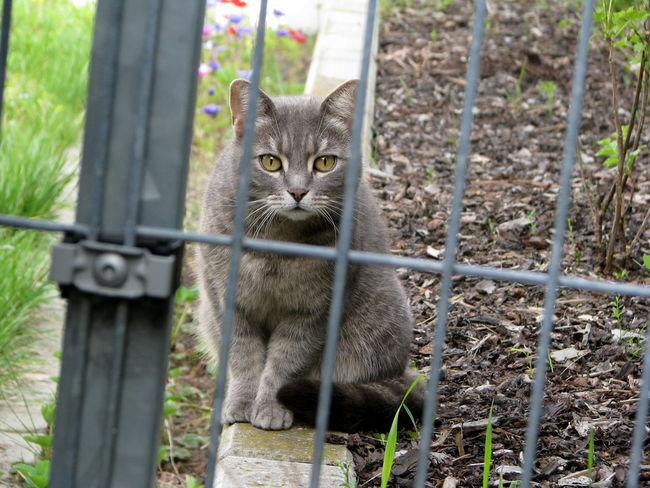 Cat Katze Grau Interested Nosy Neugierig Outdoors Garden Fence Metal Big Eyes