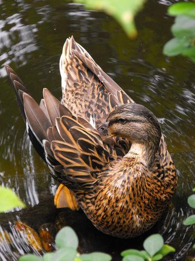 High angle view of female mallard duck preening in pond