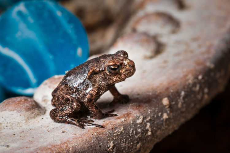 very small tiny little frog - toad Baby Frog Tiny Toad Animal Animal Body Part Animal Eye Animal Head  Animal Themes Animal Wildlife Animals In The Wild Close-up Focus On Foreground Nature No People One Animal Outdoors Rock Rock - Object Selective Focus Solid Tiny Animal Vertebrate