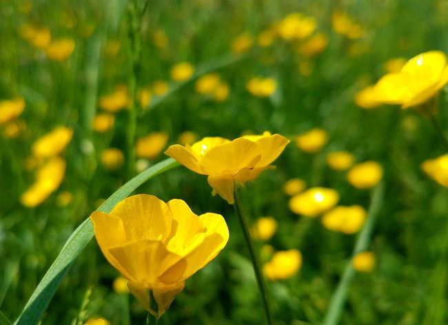 Yellow wildflowers on the grass field Flower Weed Wild Spring Summer Grass Field Bright Flower Head Yellow Leaf Petal Summer Springtime Close-up Grass Plant Flowering Plant Wildflower Blossom In Bloom