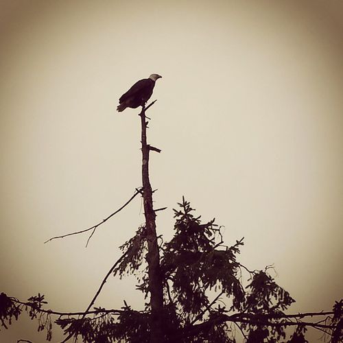 Bald eagle on a gloomy day. PNW Americafuckyeah Baldeagle Gloomybeachday Ilovegloomydays